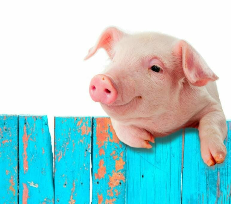 Reach goals, overcome blockages: Tame your inner pig dog in 5 steps